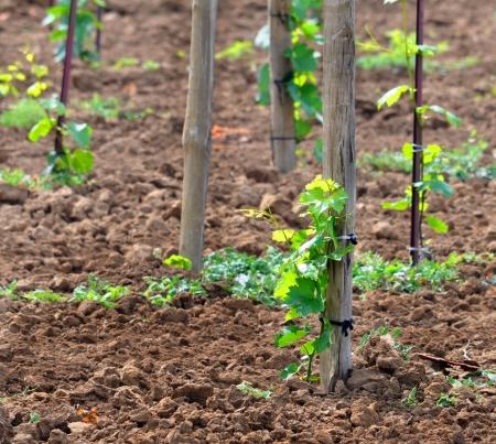 kuban: Young vineyard close-up