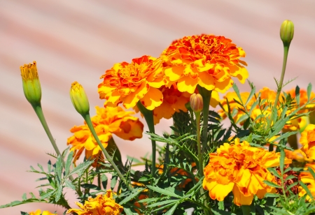 Orange marigold  tagetes  flowers  photo