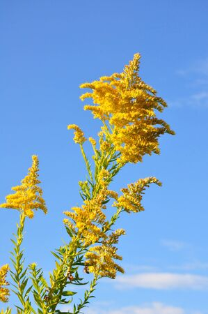 goldenrod: Blooming goldenrod