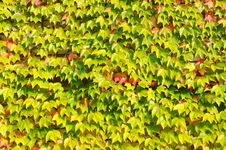 Parthenocissus quinquefolia  wild grape , autumn background