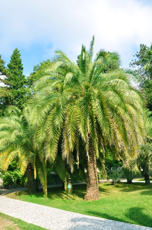 Palm-trees in Sochi Arboretum Stock Photo - 17496919