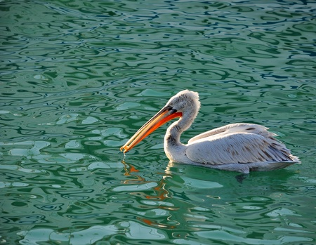 The male of a curly pelican eats bread in the sea