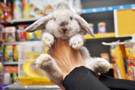 Lop-eared bunny chinchilla coat color in female hands at the pet store