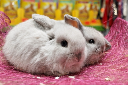 Lop-eared bunny chinchilla coat color at the pet store Stock Photo - 17498871