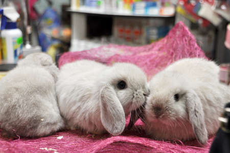 Lop-eared bunny chinchilla coat color at the pet store Stock Photo - 17499017