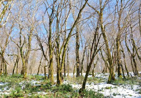 hornbeam: Spring forest Colchis in Sochi, Russia