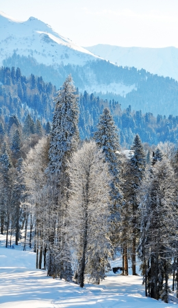 snowcovered: Snow-covered forest against mountains
