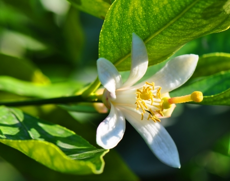 Lemon tree flowers close-up Stock Photo