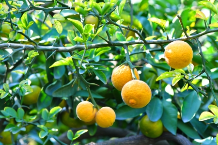 hardy: Fruits of wild lemon on a branch (Citrus trifoliata) Stock Photo