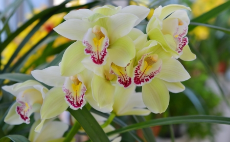 pale green phalaenopsis orchid flowers in a greenhouse stock photo