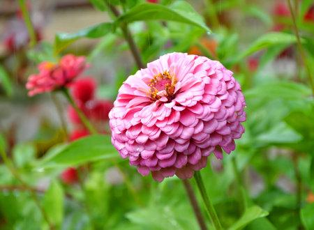 Rosa zinnia in una pioggia