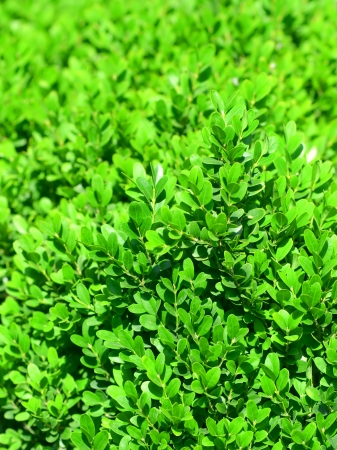 boxwood: Young shoots of boxwood as a natural background