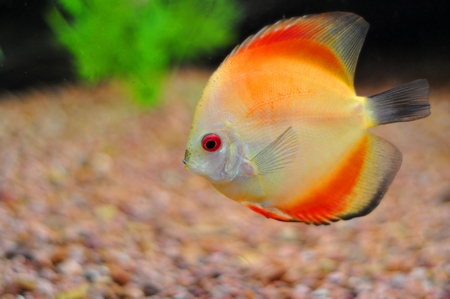 Discus, the American cichlid fish photo