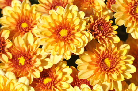 Chrysanthemums, autumn floral background in shades of brown and yellow