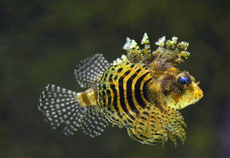 Rockfish underwater, close-up