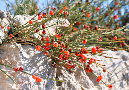 Ephedra distachya L. on Chersonesos ruins in Sevastopol, Crimea, Ukraine (selective focus)