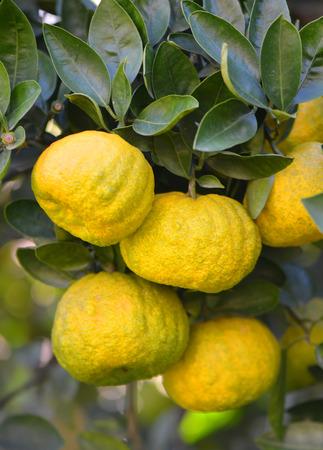 Yellow-green Mandarines on the branch Stock Photo