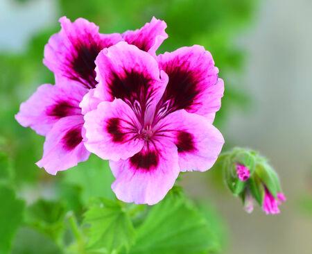 Lilac pelargonia close-up