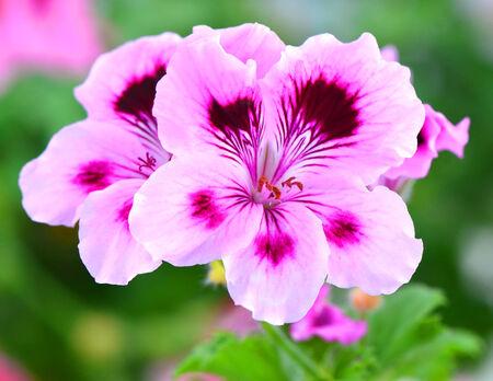 Nice pelargonia flowers