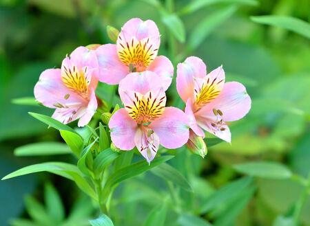 Alstroemeria, lily of the Incas Stock Photo