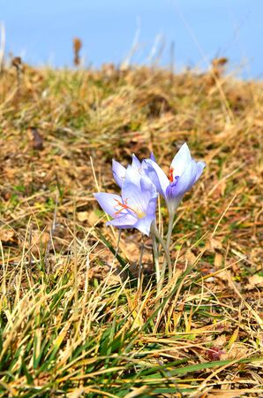 biosphere: Crocus blooming in the Caucasian Biosphere Reserve in autumn. Lagonacky plateau, Adygeya, Russia. Stock Photo