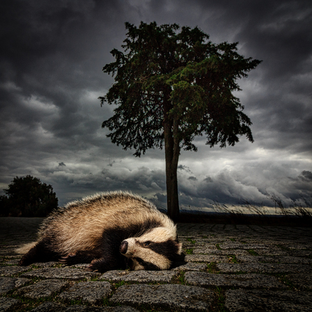 Dead badger lies under a stormy sky in Evora Portugal Reklamní fotografie