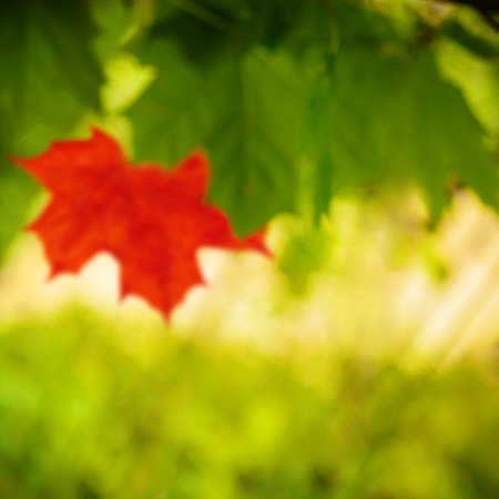 Maple leaves out of focus, design detail