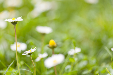 Daisy flowers on a green grass, shallow focus
