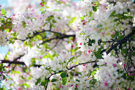 Blossoming tree in spring, beatiful background