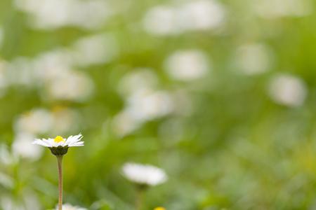 Daisy flowers on a green grass, shallow focus