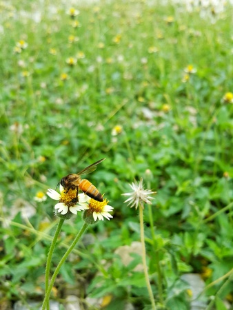 Bee fly on yellow and white little flower  naturally occur  happens naturally.