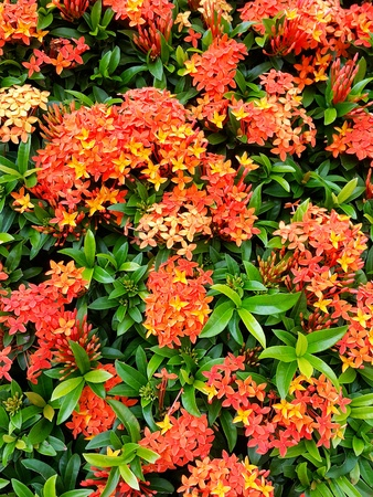 The Ixora plant is loved by many because it produces clusters of star-shaped flowers all year round.