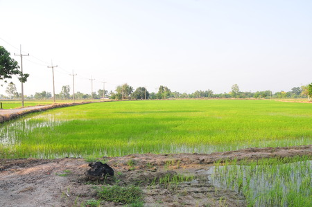 Green rice field on natural background