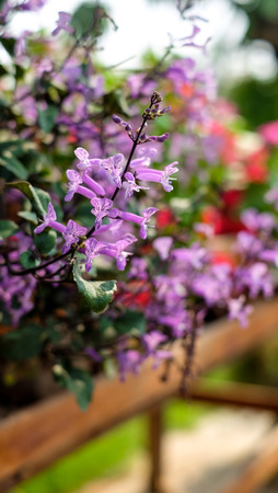 Colorful speckled spur flower growing and blooming in the thailand garden