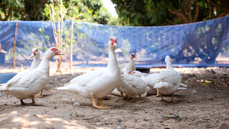 Muscovy duck or Barbary duck in  in countryside farmyard farming lifestyle Banco de Imagens