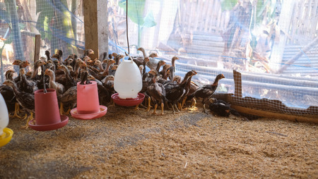 Chickens and cocks foraging around a white plastic feeder in clean husk in an enclosure on a farm.
