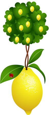 isolated tree: Lemon tree in a lemon