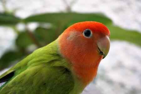 Colored bird agapornis pet parakeet