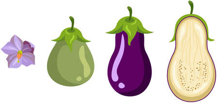 Eggplant growth and ripening stages Иллюстрация