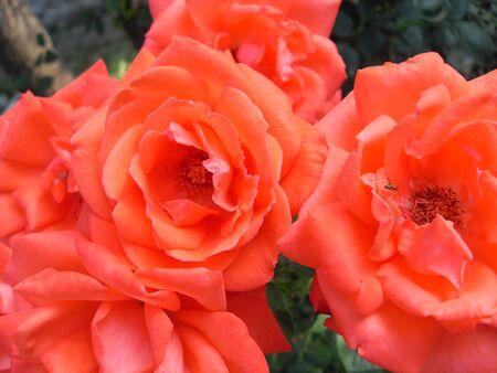 rosas naranjas: Orange Roses