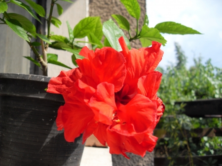 chinesse: Red Chinesse Rose