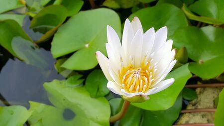 white: White lotus flower Stock Photo