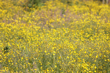 Buttercups growing wild in the UK Stock Photo