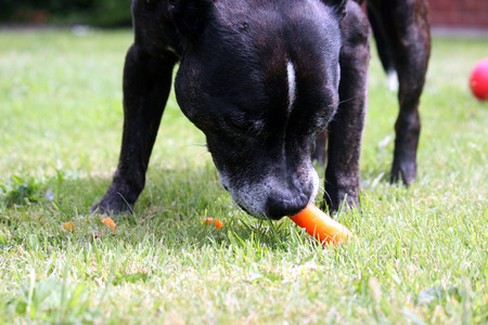 Staffordshire bull terrier chewing on a carrot Stock Photo