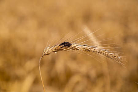 Rye with ergot in the field