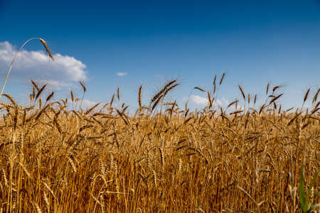 field with spikelets of ripe wheat