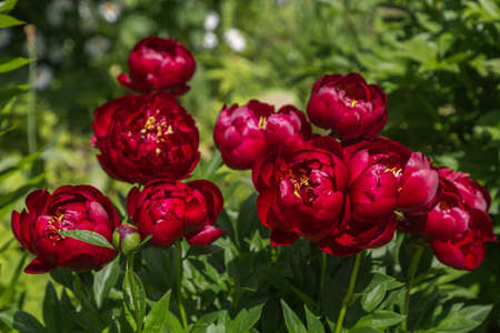 Herbaceous Peonies Buckeye Belle in flower garden