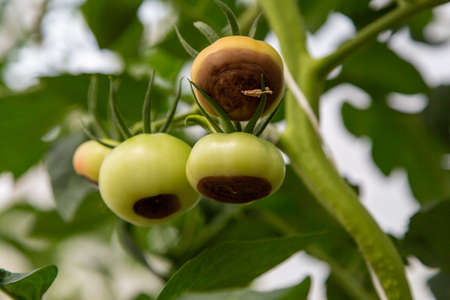 Still green, unripe, young tomato fruits affected by blossom end rot. This physiological disorder in tomato, caused by calcium deficiency. Reklamní fotografie