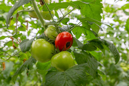 Still green, unripe, young tomato fruits affected by blossom end rot. This physiological disorder in tomato, caused by calcium deficiency.