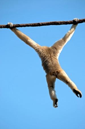flying monkey: Monkey flying through the air